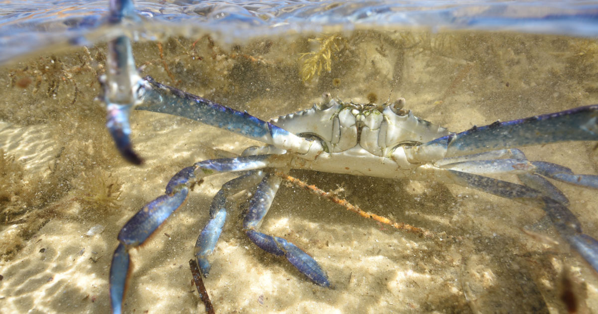 Blue Swimmer Crab season is here in Port Vincent
